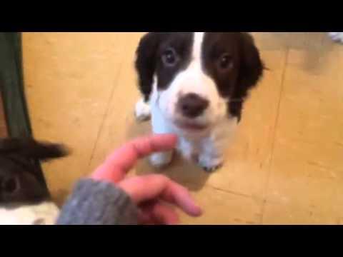 Picking a puppy, springer Spaniel.