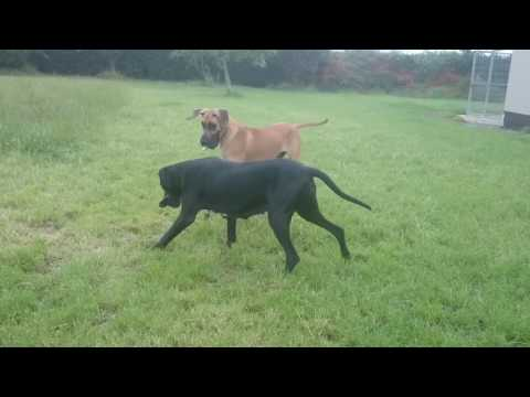 Black Great Dane Bitch Plays With Fawn Great Dane Male Great Danes Ireland -Leevindane Great Danes