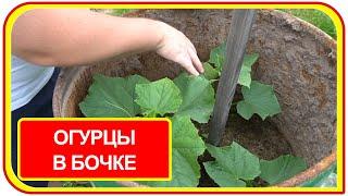 Как выращивать огурцы в бочке на даче летом. Простой способ посадки и выращивания.
