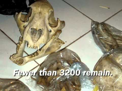 Tigers are in Peril! Will you help save them? - Tigers are in Peril! Will you help save them?