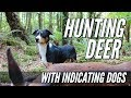 Hunting Deer With Indicating Dogs