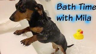 Cute Puppy Dachshund Bath Time
