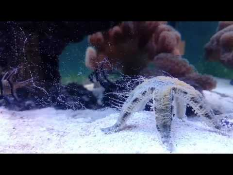 Sandsifting Starfish (astropecten Polychantus) Spawning