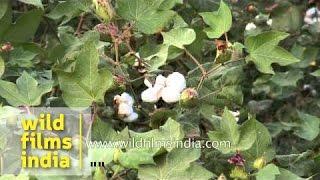 Cotton plantation in Madhya Pradesh, India