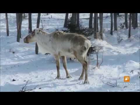 soins mâle caribou health care male caribou Zoo sauvage de St Félicien2