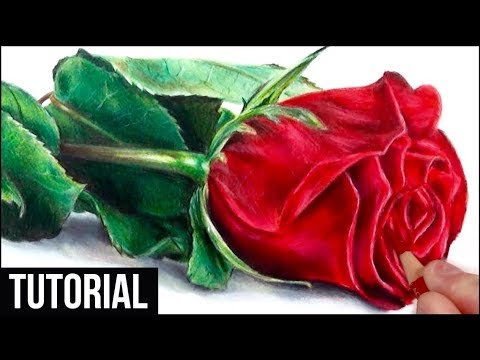 How to draw a realistic rose in coloured pencil drawing tutorial step by step
