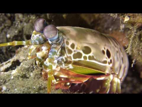 Bali Villa Dive Resort - Fangschreckenkrebs