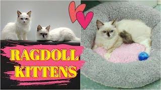 GIỐNG MÈO ĐÁNG YÊU NHẤT TRÁI ĐẤT // BRINGING HOME OUR TWO NEW RAGDOLL KITTENS