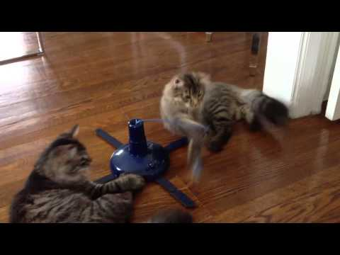 Siberian & Maine Coon mix kittens playing
