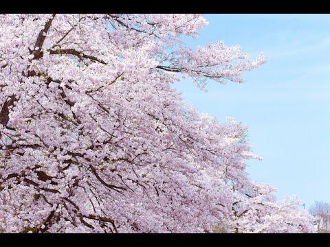 SAKURA - いきものがかり (フル)