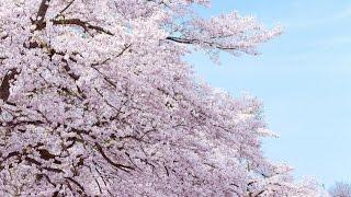SAKURA - いきものがかり (Ikimonogakari)(カヴァー)
