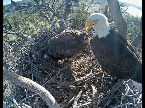 Big Bear Eagle Cam ~ The Great Fish Hand Off For Stormy 5.7.18