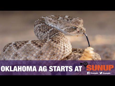 Rattlesnakes in Oklahoma (6/23/18)