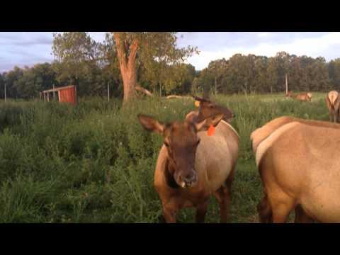 Elk cows talking  pt. 2