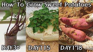 물에 키운 고구마를 심으면?? ㅣHow To Grow …