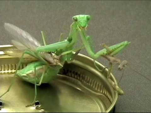 Female mantis decapitates male BEFORE mating with him