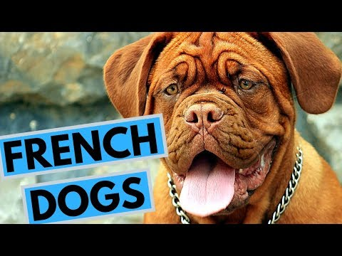 TOP 20 French Dog Breeds