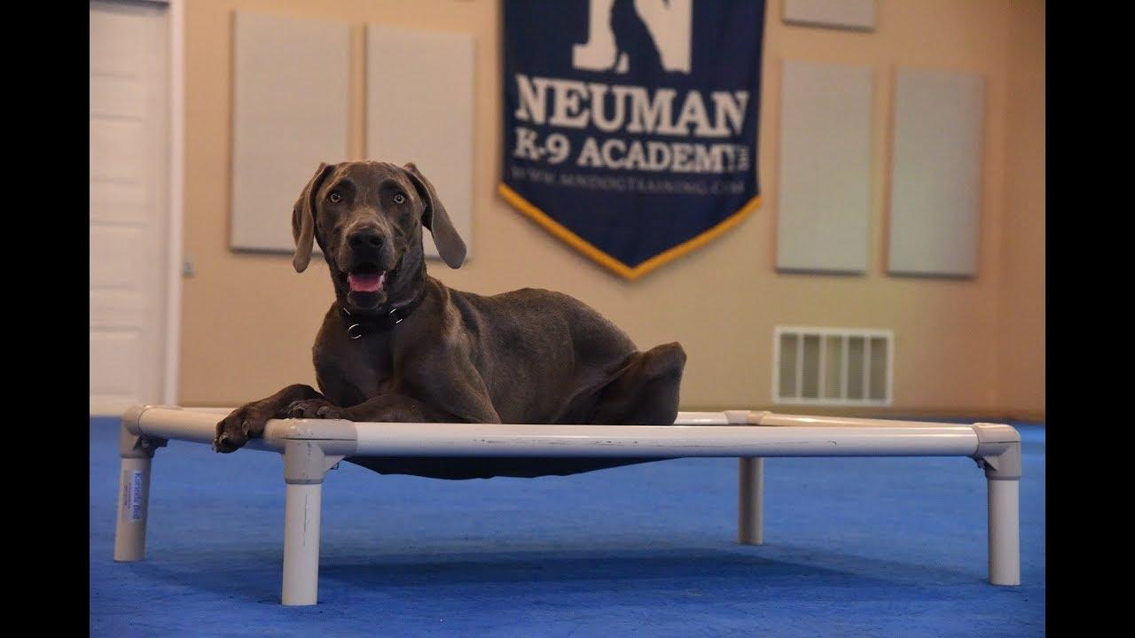 Blue Weimaraner Boot Camp Dog Training Demonstration