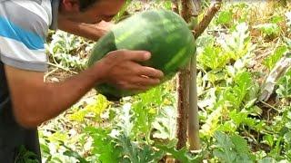 Bir emeklinin küçük bahçesindeki yetiştirdiği organik sebze ve meyveler - Bahar aylarında başlayıp yaz boyunca ilgilenip görmüş olduğunuz meyve ve sebzeleri yetiştirdik her hangi bir kimyasal veya suni gübre kullanmadık hayvan ...