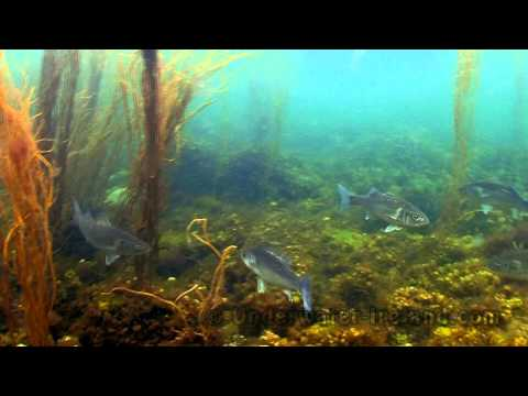 Underwater Ireland (sea / saltwater & freshwater snorkeling). Underwater Video Stock Footage.