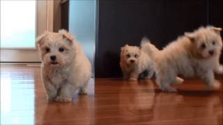 Maltese Puppies For Sale January 6, 2015