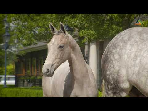 66.500 euro voor hengstveulen uit GP-winnares Sarena - Horses.nl