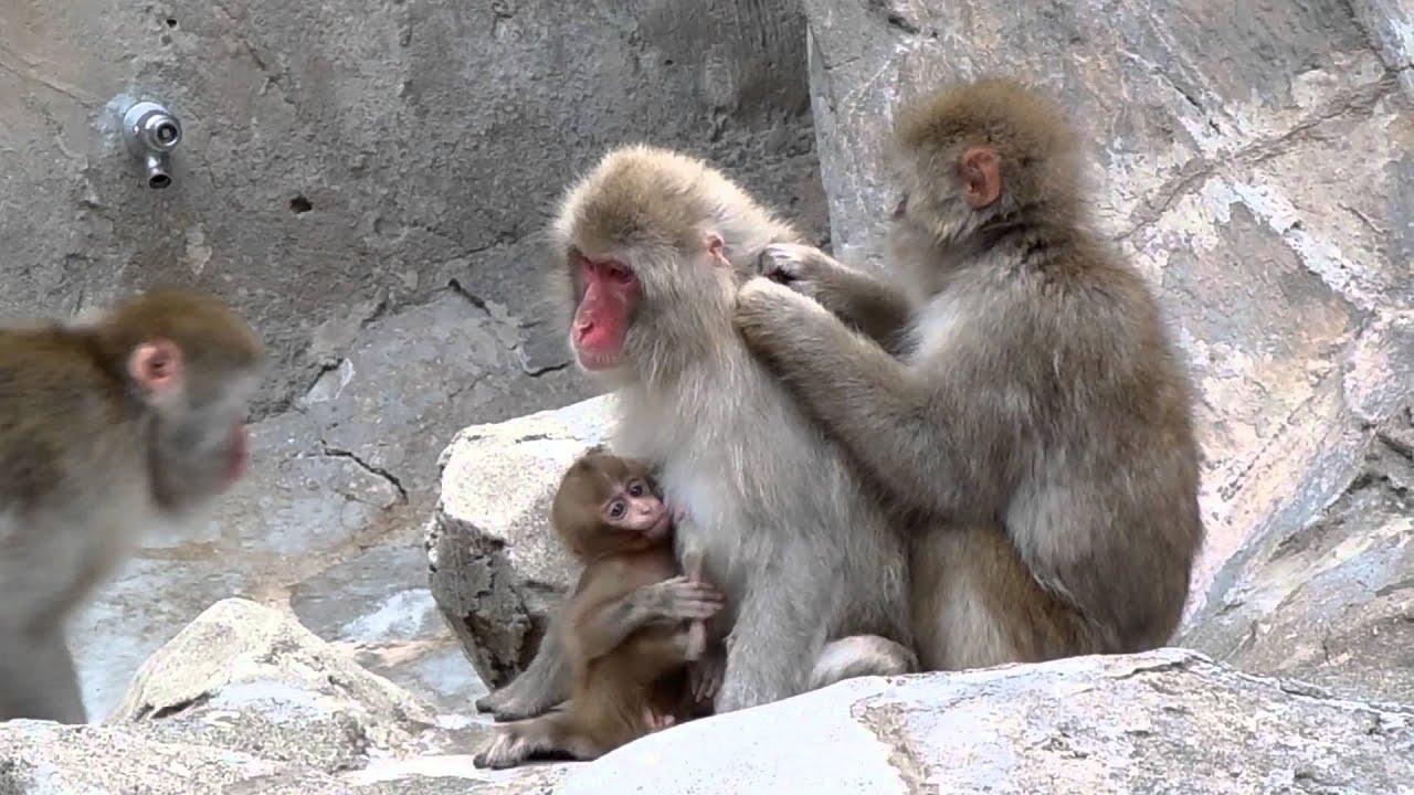 サル さる 3 ダウンロード