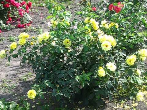 Цветы. Розы. Голдштерн. Плетистая.