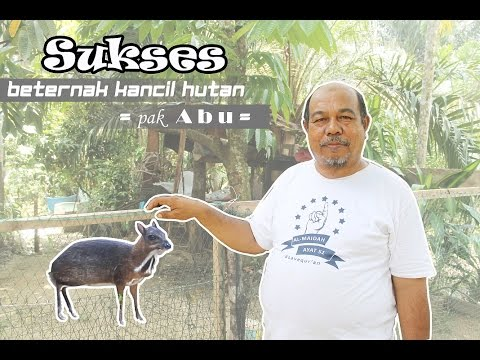 Sukses Beternak Kancil (Successful Breeding Deer)