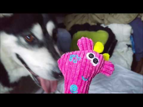 Alaskan Malamute playing with her Pinky toy (1/3)