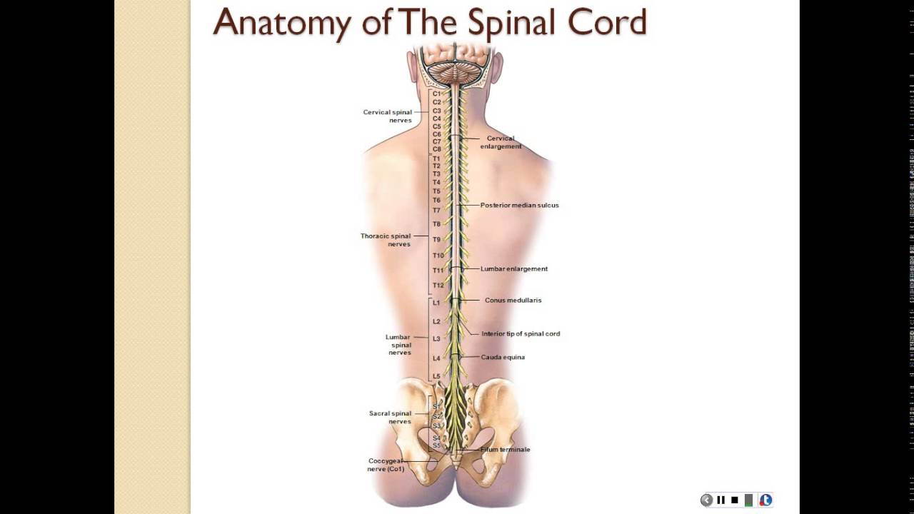 Chapter 13 part 1 (*spinal cord anatomy, spinal nerves, gray matter ...