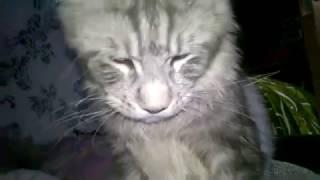 кот ласкун породы мейн кун