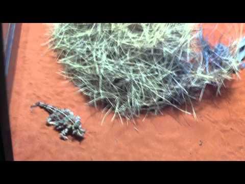 Thorny devil eating black ants