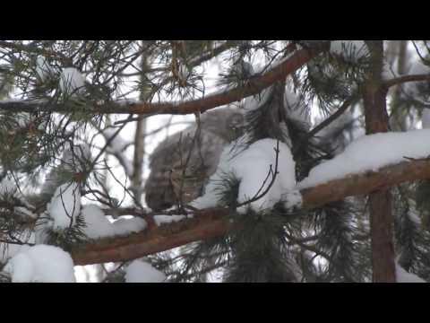 Охота совы на белок