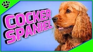 Cocker Spaniel Dogs   Spectacular Spaniel Dog Breeds