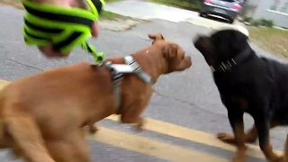 Loose ANGRY Rottweiler incoming! Leashed Amstaff pitbull walking