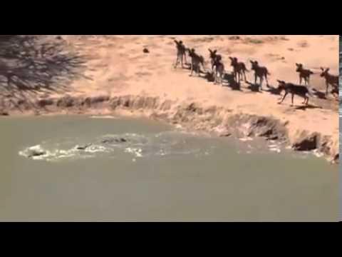 Bầy chó rừng bất lực nhìn cá sấu cướp mồi ngon