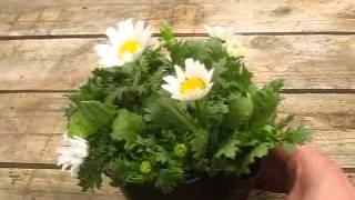 カインズ花図鑑 ノースポールの育て方