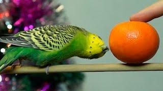 с Новым Годом – волнистый попугай Кеша болтает, поёт, щебечет и пританцовывает