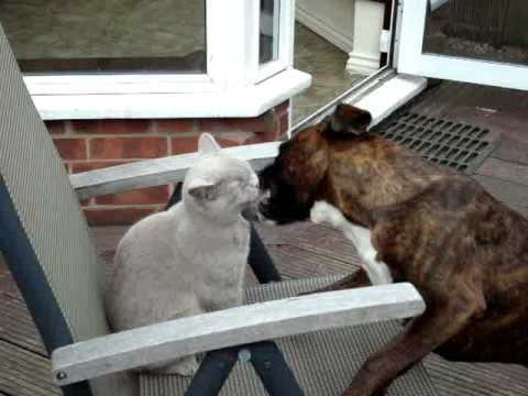 Boxer Dog And Cat Fighting On A Deckchair Youtube
