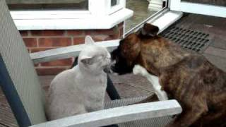 Boxer Dog and Cat fighting on a deckchair