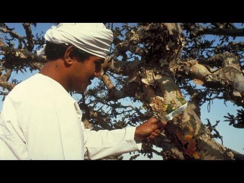 Лемонграсс полезные свойства и вред лимонной травы