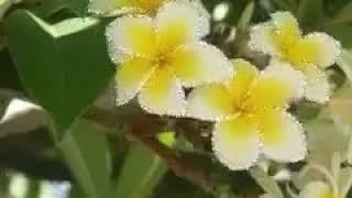 👉 สาวดวงจำปา - มนต์แคน แก่นคูน
