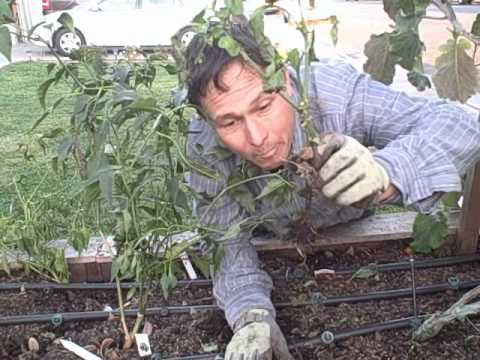 Should i plant my peppers deep like tomatoes when transplanting youtube for What should i plant in my garden