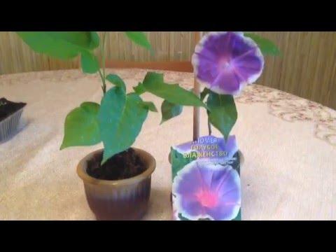 Комнатный цветок Спатифиллум женское счастье , уход в