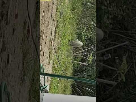 93 Gambar Babi Hutan Kena Tembak Kekinian