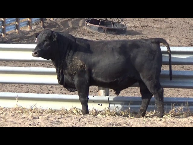 Connealy Angus Lot 207