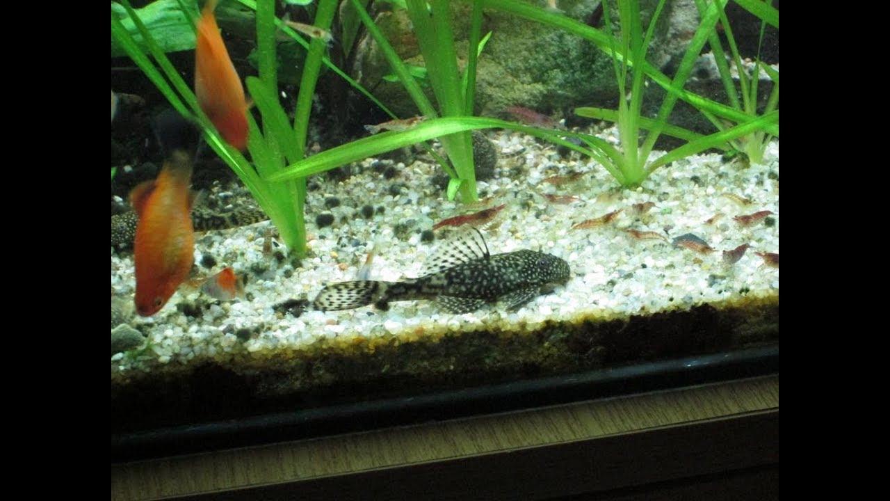 viermisori mici albi in acvariu)
