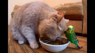 Кот и попугай кушают вместе. Мукбанг кот. asmr
