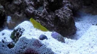 Pistol Shrimp Excavating with Foreman Goby